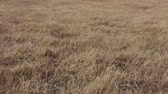 çayır : Autumn pasture: Yellow withered grass with blowing wind, close up view. Stok Video