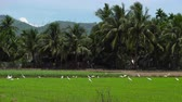 Panning shot of a flock of white herons on a rice field. Stock Footage