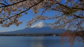 Cherry blossoms and Mt. Fuji from the northern coast of the Lake Kawaguchiko Japan 04  08  2018