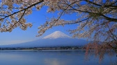 Cherry blossoms and Mt. Fuji from the northern coast of Lake Kawaguchi Japan 04  10  2018 Wideo