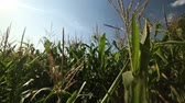 haulm : corn field in the frame only the tops of the corn Stock Footage