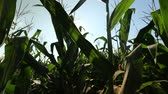 haulm : the leaves on the corn stalks in the shot corncobs
