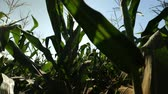 haulm : young corn growing on the field Stock Footage
