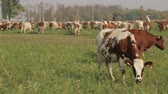 utilization : cows grazing in a pastur