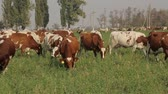 utilization : field to graze cows