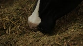 the cow eating from a hay feeding bunk in the barn