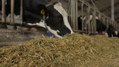 gevşemiş : the cows in the feeding pen eating hay from finishing feeder Stok Video
