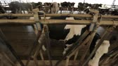 vacas : behind a partition in the pen is a cow