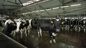 a herd of cows for milking