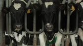 on a dairy farm milker milks cows using milking machine Stockvideo