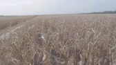kombajn : corn field from the cab of the combine Wideo