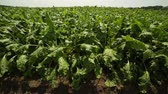 beterraba : beet grows in the field