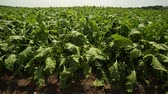 betterave rouge : green beet tops,