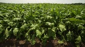 vegetal : beet grows in the field