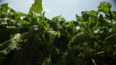 betterave : beet grows in the field