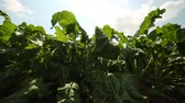 betterave rouge : beet grows in the field