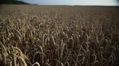milharal : wheat field 2 Stock Footage