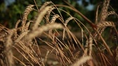milharal : wheat ears bent to the ground