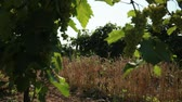 milharal : between the two rows of the vineyard grows a strip of planting of wheat