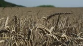 milharal : the ears of wheat on the boundless wheat fields