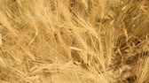 Close up of golden ripe barley ears with soft focus shot from top. Ears swaying in the wind. Barley field with bright summer sun shine