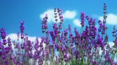 Extreme close up of lavender flowers on the blue sky background. Lavender field in Crimea. Lavandula flowers swaying in the wind. Sunny summer afternoon. 4k UHD