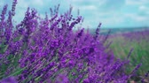 Extreme close up of lavender flowers. Lavender field in Crimea on the background in soft focus. Lavandula flowers swaying in the wind. Sunny summer afternoon. 4k UHD