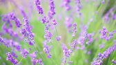 Extreme close up of lavender flowers with soft focus shot from above. Lavender field in Crimea. Lavandula flowers swaying in the wind. Sunny summer afternoon. 4k UHD Vídeos