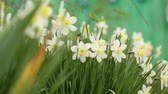 jonquil : Narcissus in closeup Stock Footage
