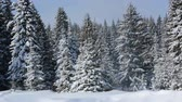 fir : Winter forest landscape