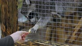 megragad : Feeding raccoon in zoo cage Stock mozgókép