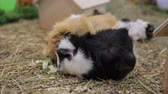 słoma : Funny guinea pigs in zoo Wideo