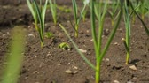spring onion : Spring onion and garlic in vegetable garden