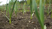 záhon : Spring onion and garlic in vegetable garden