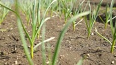 gemüse : Spring onion and garlic in vegetable garden