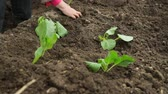 fresco : Planting cabbage saplings in the garden Stock Footage