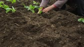 ręka : Planting cabbage saplings in the garden Wideo
