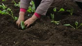 растения : Planting cabbage saplings in the garden Стоковые видеозаписи