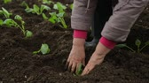 planting : Planting cabbage saplings in the garden Stock Footage
