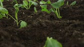 vegetal : Cabbage saplings in garden fresh beds