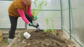 seau : Planting tomato saplings in greenhouse