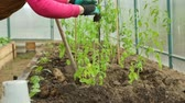 spades : Planting tomato saplings in greenhouse