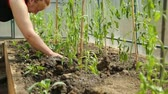 estufa : Planting tomato saplings in greenhouse