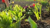 tulipan : Planting flowers in the garden