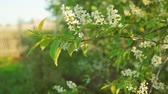florescence : Blossoming bird cherry in sun light