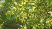 kvetoucí : Blossoming bird cherry in sun light
