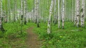 листья : Birch grove green path in day light