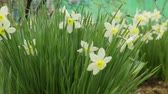 jonquil : Narcissus flowers growing in garden