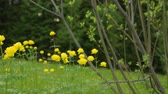 flores silvestres : Yellow flowers in summer field Stock Footage