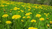 yellow flower : Dandelion meadow summer day view Stock Footage
